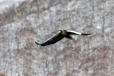 Steller's sea eagle flying in front of winter mountains scenery in Hokkaido, Bird silhouette. Beautiful nature scenery in winter. Mountain covered by snow, birding in Asia, wallpaper,Japan
