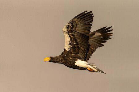 Stellers sea eagle in flight, eagle flying against clear sky in Hokkaido, Japan, silhouette of eagle at sunrise, majestic sea eagle, wildlife scene, wallpaper, bird isolated silhouette Reklamní fotografie