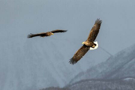 Two white-tailed eagle flying in front of winter mountains scenery in Hokkaido, Bird silhouette. Beautiful nature scenery in winter. Mountain covered by snow, glacier. Panoramatic view, Japan