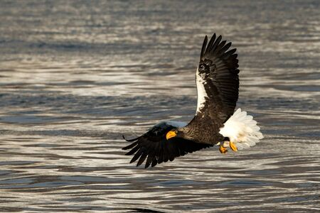 Steller's sea eagle in flight hunting fish from sea at sunrise,Hokkaido, Japan, majestic sea eagle with big claws aiming to catch fish from water surface, wildlife scene,birding adventure, wallpaper
