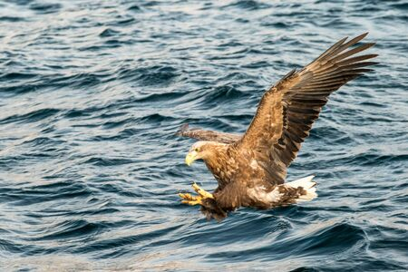 White-tailed eagle in flight hunting fish from sea,Hokkaido, Japan, Haliaeetus albicilla, majestic sea eagle with big claws aiming to catch fish from water surface, wildlife scene,birding  in Asia Reklamní fotografie