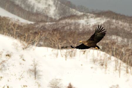 White-tailed eagle flying in front of winter mountains scenery in Hokkaido, Bird silhouette. Beautiful nature scenery in winter. Mountain covered by snow, glacier. Panoramatic view, Japan