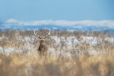 Sika deer (Cervus nippon yesoensis) on snowy landscape, mountains covered by snow in background, animal with antlers in the nature habitat, winter scene from Hokkaido, Japan. exotic adventure in Asia