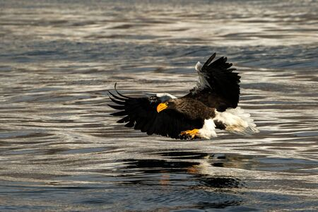 Stellers sea eagle in flight hunting fish from sea at sunrise,Hokkaido, Japan, majestic sea eagle with big claws aiming to catch fish from water surface, wildlife scene,birding adventure, wallpaper Reklamní fotografie