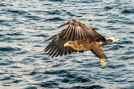 White-tailed eagle in flight with fish plugged from sea at sunrise,Hokkaido, Japan, majestic sea eagle with big claws aiming to catch fish from water surface, wildlife scene,birding adventure