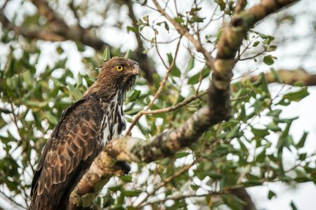 Changeable hawk-eagle or crested hawk-eagle (Nisaetus cirrhatus), bird of prey of the Indian subcontinent, India and Sri Lanka, close up raptor portrait on tree Stock Photo