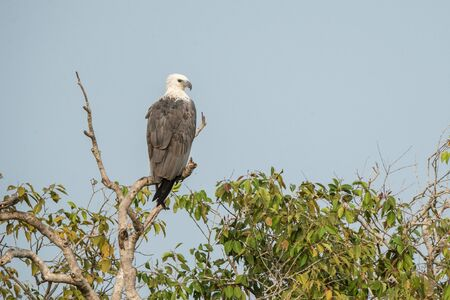 White-bellied sea eagle (Haliaeetus leucogaster) perched on treetop against blue sky. Majestic bird of prey in its environment, Wilpattu national park, Sri Lanka, Exotic birding in Asia Stock Photo