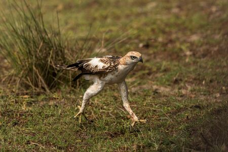 Changeable hawk-eagle or crested hawk-eagle (Nisaetus cirrhatus), bird of prey of the Indian subcontinent, India and Sri Lanka, raptor rurring on ground and searching for prey