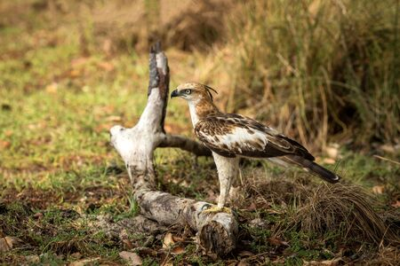 Changeable hawk-eagle or crested hawk-eagle (Nisaetus cirrhatus), bird of prey of the Indian subcontinent, India and Sri Lanka, raptor standing on ground and searching for prey Stock Photo