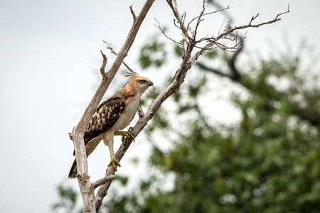 Changeable hawk-eagle or crested hawk-eagle (Nisaetus cirrhatus), bird of prey of the Indian subcontinent, India and Sri Lanka, raptor perching on tree and searching for prey