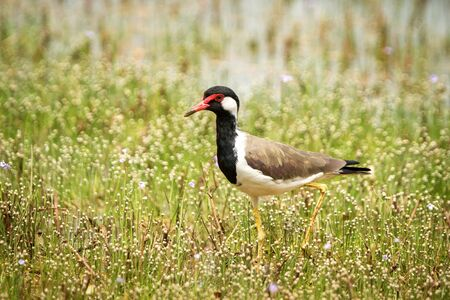Red-wattled Lapwing (Vanellus Indicus) stands on lake shore, in natural habitat, Yala National Park, Sri Lanka, beautiful colorful bird, Exotic birdwaitching in Asia Stock Photo