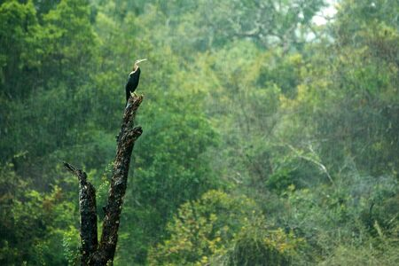 Indian darter, Anhinga melanogaster, snakebird perched on dead tree trunk in heavy tropical rain, water bird with long neck. Wilpattu National park, Sri Lanka, exotic birding in Asia