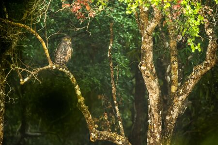 Brown Fish Owl, Ketupa zeylonensis, Wilpattu National Park, Sri Lanka. Beautiful owl perched at branch on tree near a lake, exotic birding in Asia, fish eating bird of prey