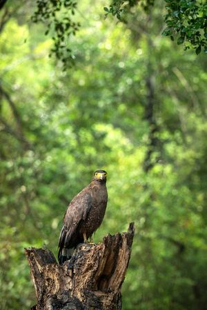 Portrait of crested Serpent Eagle perched in tree in Wilpattu National Park in Sri Lanka, close up photo, exotic birding in Asia, beautiful bird of prey with yellow eyes