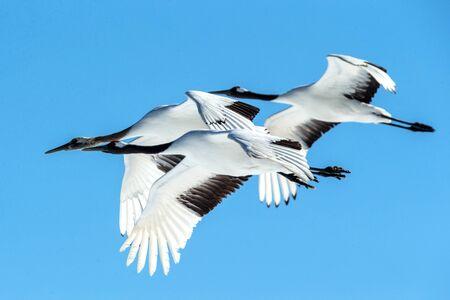Rot gekrönte Kraniche (grus japonensis) im Flug mit ausgestreckten Flügeln gegen blauen Himmel, Winter, Hokkaido, Japan, japanischer Kranich, schöne mystische nationale weiße und schwarze Vögel, elegantes Tier