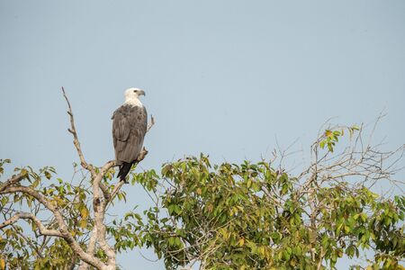 White-bellied sea eagle (Haliaeetus leucogaster) perched on treetop against blue sky. Majestic bird of prey in its environment, Wilpattu national park, Sri Lanka, Exotic birding in Asia Imagens