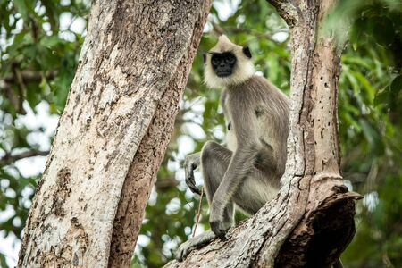 Gray langurs, sacred langurs, Indian langurs or Hanuman langurs are a group of Old World monkeys native to the Indian subcontinent, monkey sitting on tree, Sri Lanka, exotic adventure in Asia