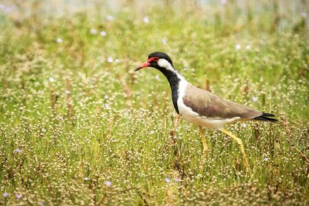 Red-wattled Lapwing (Vanellus Indicus) stands on lake shore, in natural habitat, Yala National Park, Sri Lanka, beautiful colorful bird, Exotic birdwaitching in Asia 免版税图像