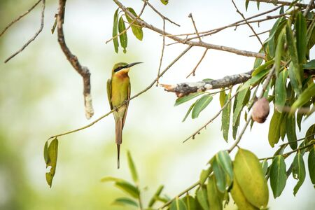 The blue-tailed bee-eater (Merops philippinus) perching on branch with leaves, colorful bird on clear background, Yala National Park, Sri Lanka, exotic birdwatching in Asia,bird in natural environment 免版税图像
