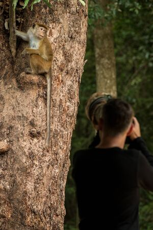 Toque macaque (Macaca sinica) monkeys are a group of Old World monkeys native to the Indian subcontinent, Photographer taking photo of monkey sitting on tree,  Wilpattu National Park, Sri Lanka