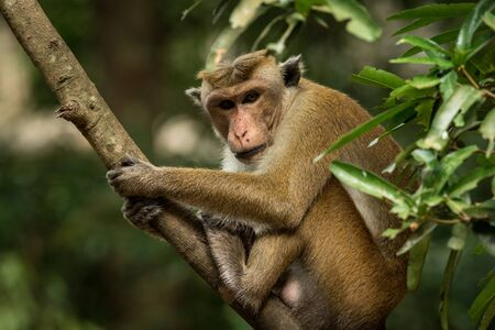 Toque macaque (Macaca sinica) monkeys are a group of Old World monkeys native to the Indian subcontinent, monkey sitting on tree,  Wilpattu National Park, Sri Lanka, exotic adventure in Asia Stock Photo