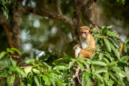 Toque macaque (Macaca sinica) monkeys are a group of Old World monkeys native to the Indian subcontinent, monkey sitting on tree,  Wilpattu National Park, Sri Lanka, exotic adventure in Asia 免版税图像
