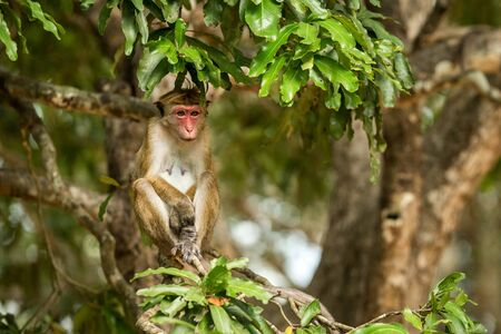 Toque macaque (Macaca sinica) monkeys are a group of Old World monkeys native to the Indian subcontinent, monkey sitting on tree,  Wilpattu National Park, Sri Lanka, exotic adventure in Asia Imagens