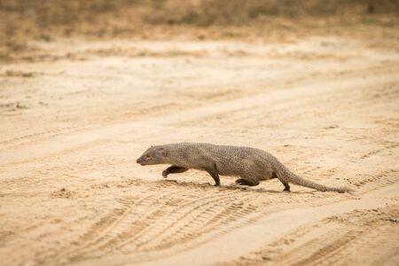 ruddy mongoose (Herpestes smithii)  on the road in Yala National Park, Sri Lanka, Asia. Beautiful wildlife scene from nature habitat from Sri Lanka, carnivorous mammal, hunting, exotic adventure