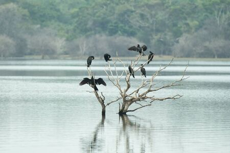 Cormorants and anhingas perching on dead tree on lake, flock of birds on clear background, Yala National Park, Sri Lanka, exotic birdwatching in Asia,bird in natural environment, water birds resting 免版税图像