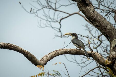 Sri lankan grey hornbill perches on a dead tree without leaves, colorful bird on clear background, Yala National Park, Sri Lanka, exotic birdwatching in Asia,bird in natural environment