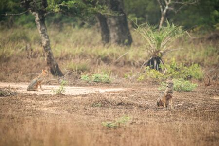 Couple of golden Jackal, Canis aureus in the grass, Sri Lanka, Asia. Beautiful wildlife scene from nature habitat from Sri Lanka, carnivorous mammal, hunting, exotic adventure