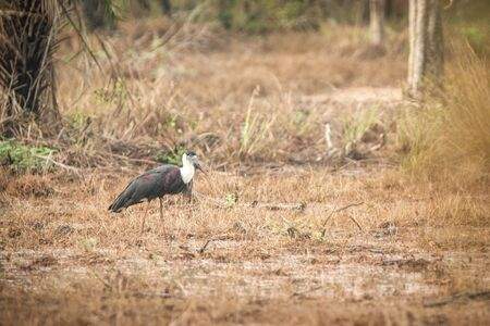woolly-necked stork or whitenecked stork (Ciconia episcopus), stands on meadow in forest, big bird in natural habitat, Yala National Park, Sri Lanka, black and white bird, Exotic birdwaitching