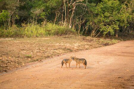 Couple of golden Jackal, Canis aureus on the road in Yala National Park, Sri Lanka, Asia. Beautiful wildlife scene from nature habitat from Sri Lanka, carnivorous mammal, hunting, exotic adventure Reklamní fotografie