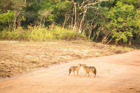Couple of golden Jackal, Canis aureus on the road in Yala National Park, Sri Lanka, Asia. Beautiful wildlife scene from nature habitat from Sri Lanka, carnivorous mammal, hunting, exotic adventure Фото со стока