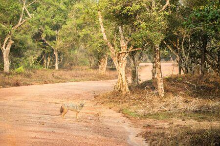 Golden Jackal, Canis aureus in the grass, Sri Lanka, Asia. Beautiful wildlife scene from nature habitat from Sri Lanka, carnivorous mammal, hunting, exotic adventure