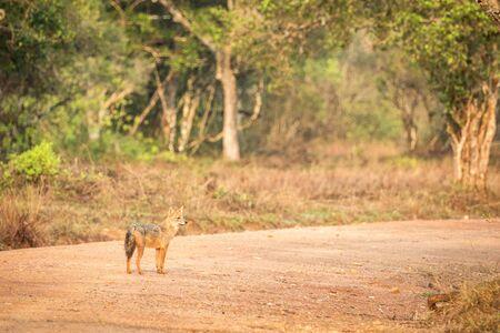 Golden Jackal, Canis aureus on the road, Sri Lanka, Asia. Beautiful wildlife scene from nature habitat, carnivorous mammal, hunting predator, exotic adventure, safari in Wilpatu National Park Reklamní fotografie