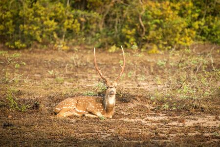 Wild Spotted deer, The chital or cheetal (Axis axis) in Yala National park, Sri Lanka, scene from nature, wildlife, savannah, mammal, deer resting on grass