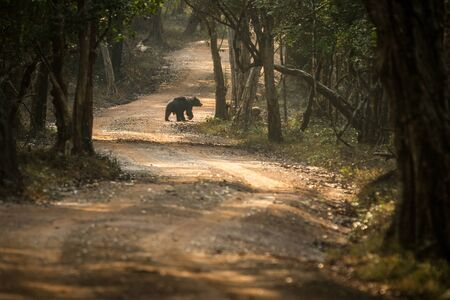 Close up,wild sloth bear, Melursus ursinus, crossing the road in Wilpattu national park, Sri Lanka, wildlife photo trip in Asia, exotic adventure, endangered species, safari Фото со стока