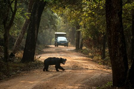 Close up,wild sloth bear, Melursus ursinus, crossing the road in Wilpattu national park, Sri Lanka, wildlife photo trip in Asia, exotic adventure, endangered species, safari Reklamní fotografie