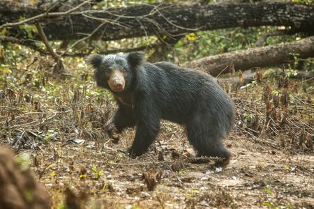 Close up,wild sloth bear, Melursus ursinus, bear in tropical forest, Wilpattu national park, Sri Lanka, wildlife photo trip in Asia, exotic adventure, endangered species, safari Reklamní fotografie