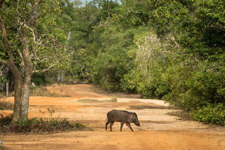 Close up,wild pig, crossing the road in Wilpattu national park, Sri Lanka, wildlife photo trip in Asia, exotic adventure, safari