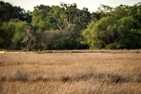 Golden Jackal, Canis aureus in the grass, Sri Lanka, Asia. Beautiful wildlife scene from nature habitat, carnivorous mammal, hunting predator, exotic adventure, safari in Wilpatu National Park
