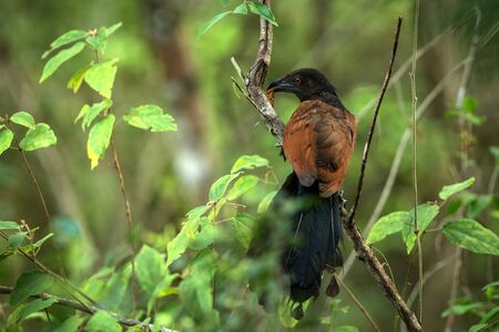 The Greater Coucal or Crow Pheasant or Centropus sinensis perching on tree in nice natural environment of wildlife in Sr� Lanka or Ceylon, bird with insect in beak, scene from nature, exotic birding