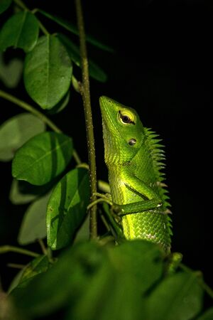 Green Garden Lizard at Sinharaja rain frest reserve in Sri Lanka, reptile catured at night in the garden, lizard sitting on branch with green leaves, exotic adventure in Asia