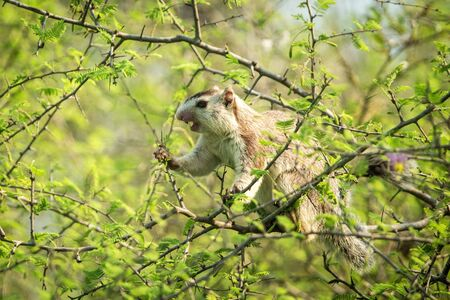 Indian palm squirrel feeding on tree in Wilpattu national park, Sri Lanka, cute small mammal eating berries and leaves, squirrel with stripes 免版税图像