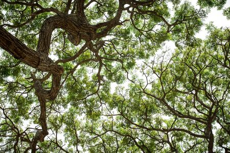 An upward view of tree canopy in the tropical forest, Sri Lanka, exotic adventure in Asia, green leaves, background, Upper Branches Of Tree With Fresh Green Foliage