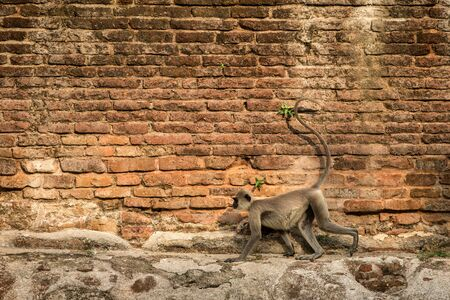 Gray langurs, sacred langurs, Indian langurs or Hanuman langurs in sacred city Anuradhapura, monkey running on wall of ancient temple, Sri Lanka, exotic trip in Asia, monkey with long tail