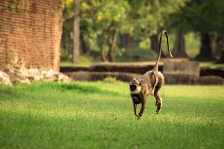 Gray langurs, sacred langurs, Indian langurs or Hanuman langurs in sacred city Anuradhapura, female monkey running on grass with her baby, Sri Lanka, exotic adventure in Asia, ancient temple 免版税图像