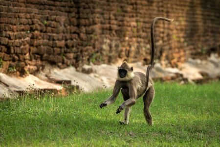 Gray langurs, sacred langurs, Indian langurs or Hanuman langurs in sacred city Anuradhapura, female monkey running on grass with her baby, Sri Lanka, exotic adventure in Asia, ancient temple Stock Photo