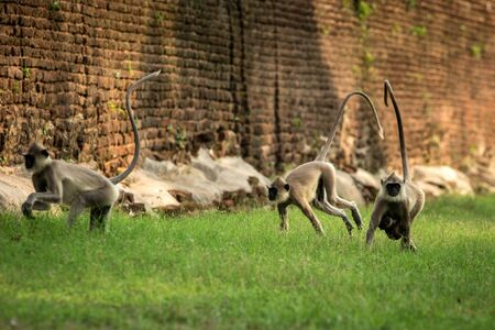 Gray langurs, sacred langurs, Indian langurs or Hanuman langurs in sacred city Anuradhapura, monkey running on grass, Sri Lanka, exotic adventure in Asia, ancient temple